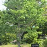 100周年記念植樹