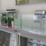 玄関の金魚とメダカ